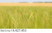 Купить «Поле зеленой ржи на ветру», видеоролик № 4427453, снято 19 марта 2013 г. (c) Виктор Савушкин / Фотобанк Лори