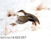 Купить «Утка кряква в полете зимой», фото № 4429057, снято 8 января 2011 г. (c) Эдуард Кислинский / Фотобанк Лори