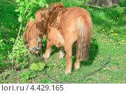 Купить «Пони и одуванчик», эксклюзивное фото № 4429165, снято 12 мая 2012 г. (c) Алёшина Оксана / Фотобанк Лори