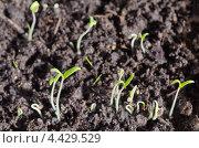 Купить «Проросшая рассада помидоров», эксклюзивное фото № 4429529, снято 21 марта 2013 г. (c) Елена Коромыслова / Фотобанк Лори