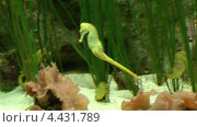 Рыба морской конёк. Пара. Любовный дуэт. Океанариум в Лоро-Парке на Тенерифе, Канарские острова. Стоковое видео, видеограф Михаил Марков / Фотобанк Лори