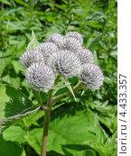 Купить «Соцветие лопуха войлочного или паутинистого (Arctium tomentosum)», эксклюзивное фото № 4433357, снято 30 июня 2009 г. (c) lana1501 / Фотобанк Лори