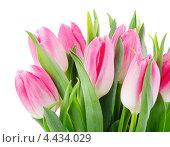 Купить «Букет розовых тюльпанов в каплях воды на белом фоне», фото № 4434029, снято 18 марта 2013 г. (c) Tatjana Baibakova / Фотобанк Лори