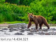 Бурый медведь. Стоковое фото, фотограф Воевудский Евгений / Фотобанк Лори