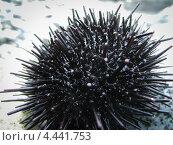 Черный морской еж на берегу. Стоковое фото, фотограф Моисеева Светлана / Фотобанк Лори