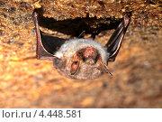 Купить «Летучая мышь в пещере», фото № 4448581, снято 1 марта 2008 г. (c) Эдуард Кислинский / Фотобанк Лори