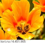Купить «Оранжевый тюльпан», фото № 4451905, снято 3 мая 2012 г. (c) ИВА Афонская / Фотобанк Лори