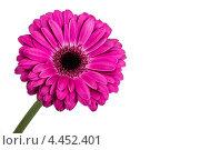 Цветок розовой герберы. Стоковое фото, фотограф Михаил Крылов / Фотобанк Лори