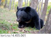 Купить «Гималайский медведь в лесу», фото № 4455061, снято 4 октября 2009 г. (c) Георгий Хрущев / Фотобанк Лори