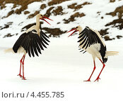 Купить «Аист ранней весной», фото № 4455785, снято 27 марта 2013 г. (c) Эдуард Кислинский / Фотобанк Лори