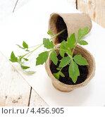 Купить «Молодая рассада томатов», эксклюзивное фото № 4456905, снято 30 марта 2013 г. (c) Наталья Осипова / Фотобанк Лори