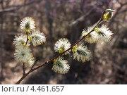 Весенние цветы ивы в солнечном свете. Стоковое фото, фотограф Ольга Литвинцева / Фотобанк Лори