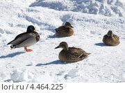 Купить «Утки на снегу», эксклюзивное фото № 4464225, снято 27 марта 2013 г. (c) Елена Коромыслова / Фотобанк Лори