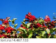 Спелая калина. Стоковое фото, фотограф Александра Задохина / Фотобанк Лори