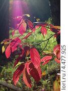 Осенний лист черемухи. Стоковое фото, фотограф Елена Бачурина / Фотобанк Лори