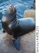 Морской котик. Стоковое фото, фотограф light / Фотобанк Лори