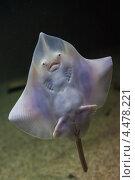 Морской скат. Стоковое фото, фотограф light / Фотобанк Лори