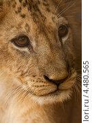 Купить «Маленький львенок крупным планом», фото № 4480565, снято 23 февраля 2013 г. (c) Юлия Бабкина / Фотобанк Лори