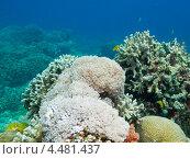Купить «Тропические рыбки плавают вокруг кораллов», фото № 4481437, снято 3 мая 2012 г. (c) Сергей Дубров / Фотобанк Лори