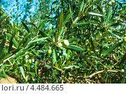 Купить «Оливковые деревья в Греции», фото № 4484665, снято 9 сентября 2012 г. (c) Станислав Парамонов / Фотобанк Лори