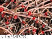 Купить «Красные розочки седума по весне», эксклюзивное фото № 4487765, снято 9 апреля 2013 г. (c) Ната Антонова / Фотобанк Лори