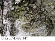 Купить «Фактура коры березы повислой (Betula pendula)», эксклюзивное фото № 4488141, снято 9 апреля 2013 г. (c) Ната Антонова / Фотобанк Лори