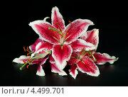 """Купить «Цветы Лилии сорта """"Star"""" на черном фоне», фото № 4499701, снято 17 августа 2012 г. (c) ElenArt / Фотобанк Лори"""