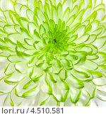 Купить «Бело-зеленая хризантема», фото № 4510581, снято 18 августа 2012 г. (c) ElenArt / Фотобанк Лори