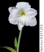 Белый цветок на чёрном фоне. Стоковое фото, фотограф Елена Алексеева / Фотобанк Лори