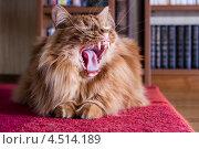 Большой пушистый кот зевает. Стоковое фото, фотограф Алексей Егоров / Фотобанк Лори