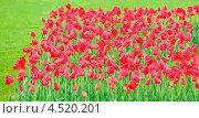 Купить «Тюльпаны», фото № 4520201, снято 9 мая 2012 г. (c) Алёшина Оксана / Фотобанк Лори