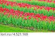 Купить «Тюльпаны», фото № 4521169, снято 9 мая 2012 г. (c) Алёшина Оксана / Фотобанк Лори