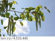 Серьги осины. Стоковое фото, фотограф Александра Полупанова / Фотобанк Лори