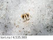 Птичье перо на снегу. Стоковое фото, фотограф Алексей Егоров / Фотобанк Лори