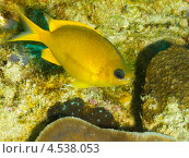 Купить «Жёлтый хромис (Chromis analis, Yellow Puller)», фото № 4538053, снято 3 мая 2012 г. (c) Сергей Дубров / Фотобанк Лори