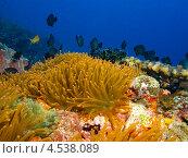 Купить «Стая тропических рыбок над анемоном», фото № 4538089, снято 9 мая 2012 г. (c) Сергей Дубров / Фотобанк Лори