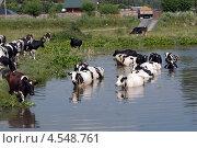 Коровы входят в воду. Стоковое фото, фотограф Анатолий Евсеев / Фотобанк Лори