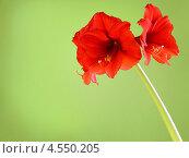 Купить «Цветущий красный гиппеаструм на зеленом фоне с местом для текста», фото № 4550205, снято 18 марта 2013 г. (c) Олеся Сарычева / Фотобанк Лори