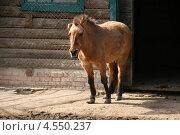 Лошадь Пржевальского (Equus ferus przewalskii) в зоопарке города Николаева, Украина. Стоковое фото, фотограф Щеголева Ольга / Фотобанк Лори