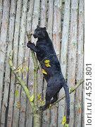 Купить «Черный леопард на дереве», фото № 4551801, снято 14 октября 2012 г. (c) Эдуард Кислинский / Фотобанк Лори
