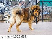 Купить «Красивый пес породы Тибетский Мастиф», фото № 4553689, снято 21 апреля 2013 г. (c) Сергей Лаврентьев / Фотобанк Лори