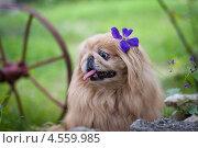 Собака породы пекинес. Стоковое фото, фотограф Дина Вавилова / Фотобанк Лори