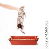 Котенка держат над лотком. Стоковое фото, фотограф Елена Ефимова / Фотобанк Лори