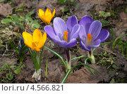 Купить «Крокусы (Crocus)», эксклюзивное фото № 4566821, снято 26 апреля 2013 г. (c) Елена Коромыслова / Фотобанк Лори