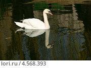 Купить «Белый лебедь на темной воде (Лебедь-шипун, Cygnus olor)», эксклюзивное фото № 4568393, снято 31 марта 2013 г. (c) Щеголева Ольга / Фотобанк Лори