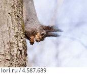 Купить «Белка на дереве», фото № 4587689, снято 1 мая 2013 г. (c) Александр Степанов / Фотобанк Лори