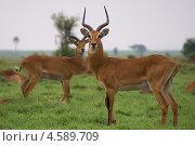 Купить «Угандийская антилопа коб», фото № 4589709, снято 10 февраля 2009 г. (c) Дмитрий Коган / Фотобанк Лори