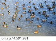 Купить «Утки плавают в пруду», эксклюзивное фото № 4591981, снято 27 марта 2013 г. (c) Елена Коромыслова / Фотобанк Лори