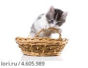 Купить «Трехцветный котенок грызет ручку  корзины», фото № 4605989, снято 8 мая 2013 г. (c) Ирина Кожемякина / Фотобанк Лори