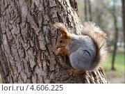 Купить «Белка сидит на дереве», фото № 4606225, снято 18 февраля 2019 г. (c) FotograFF / Фотобанк Лори